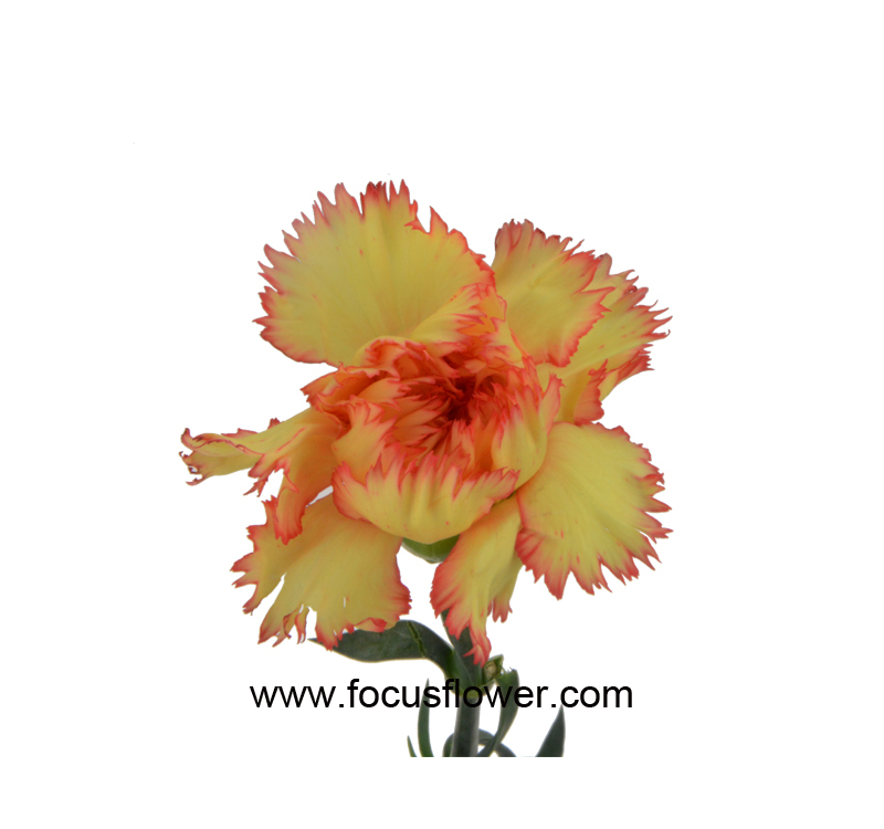 Flower Export Importers Of Fresh Flowers From Kunming Flower Exporter Superbly Single Carnations