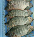 good quality of frozen tilapia clean head on 100-200g/pcs