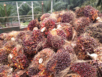 Midori for Oil Palm Production