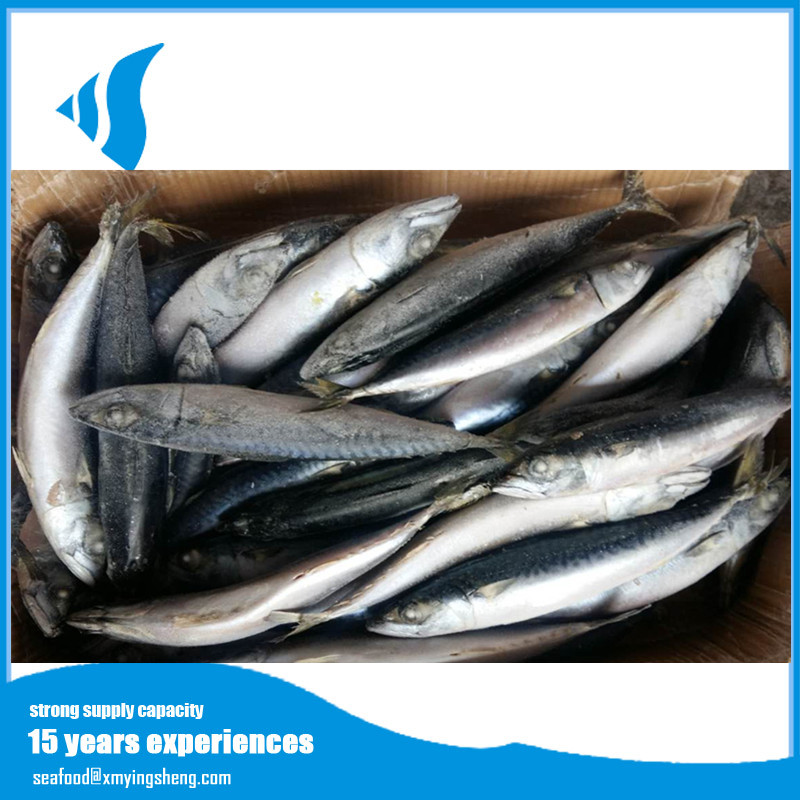 BQF seafood frozen pacific mackerel fish with competitive prices