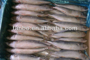 Chinese eastern ocean mackerel