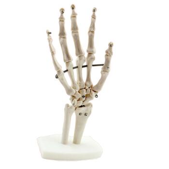 Venta al por mayor comprar esqueletos anatomia-Compre online los ...