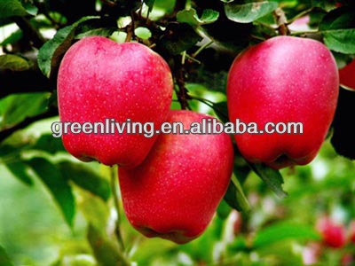 juicy sweety huaniu apple(apple:fuji, huaniu, gala, golden,qingguan, red star)