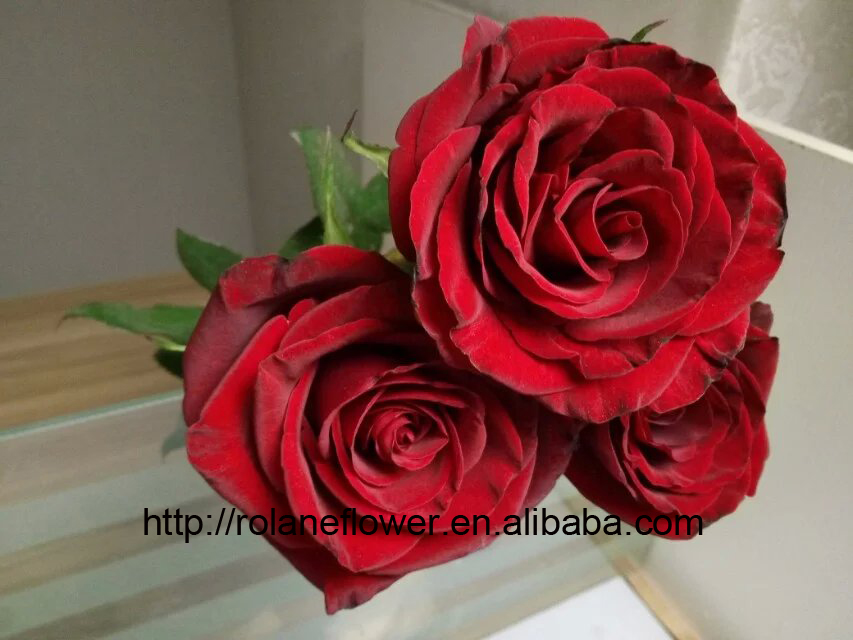 Natural Rose Flowers Fresh Cut Flowers Black Magic Roses From Kunming