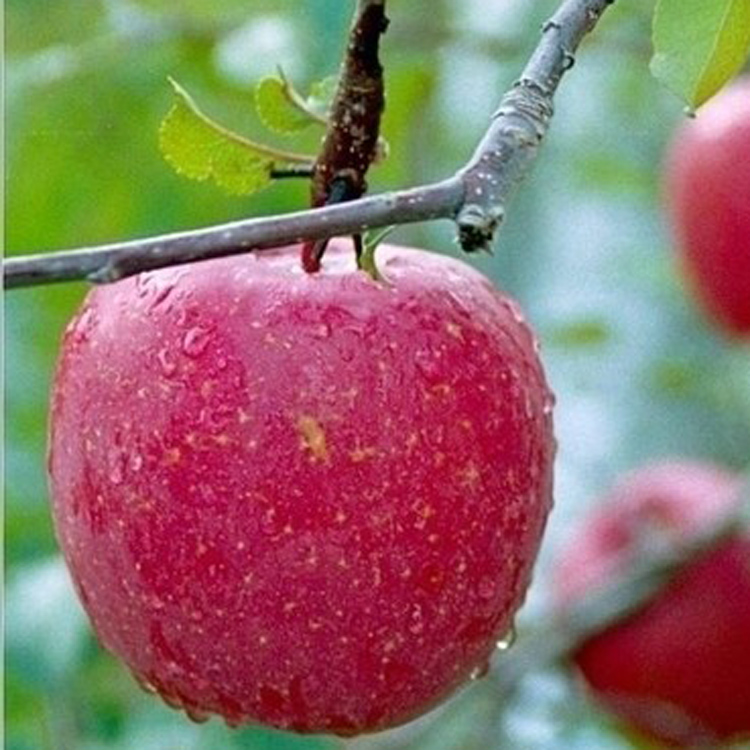 fresh kashmir apple