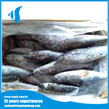 Frozen halal bonito fish for powder