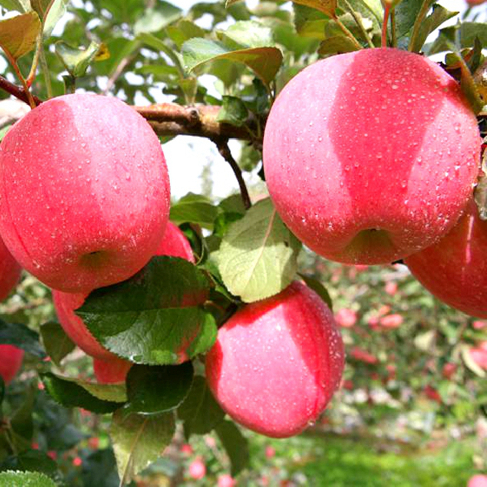 apple factory exports fuji apples name of imported fruits