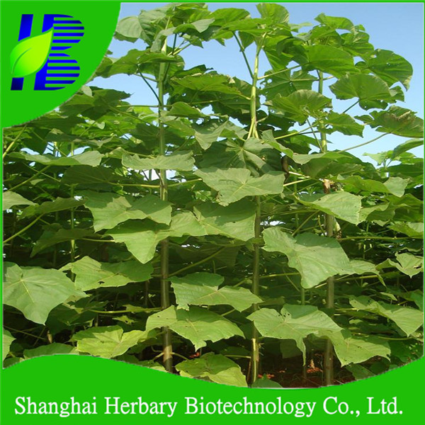 Cold resistant world popular hybrid paulownia seed for growing