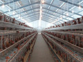 Large/Long span Prefabricated Steel Structure Poultry Chicken House