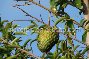100% pure soursop leaves extract