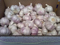 2015-2016 Garlic Exporters in China - new crop , hot sales , low price