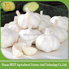 china Jinxiang fresh garlic rates