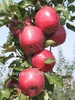 Chinese Fresh Apple Fruit for Export