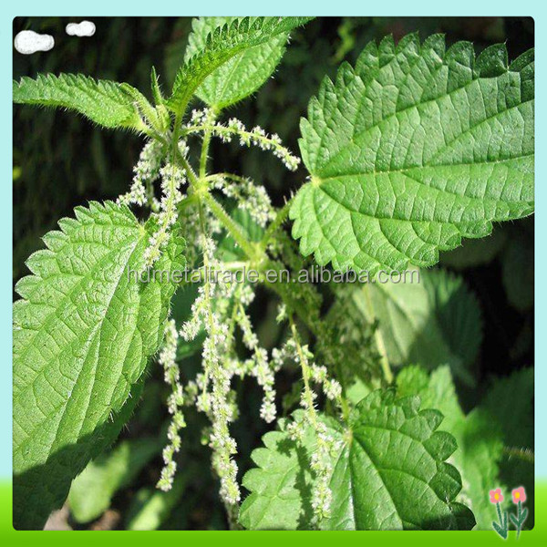GMP Manufacturer For Nettle Root Extract