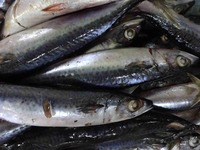 Fresh Hot Sale Frozen Mackerel Fish For Canned