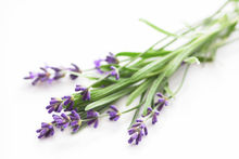 Lavender 40/42 Wholesale Prices