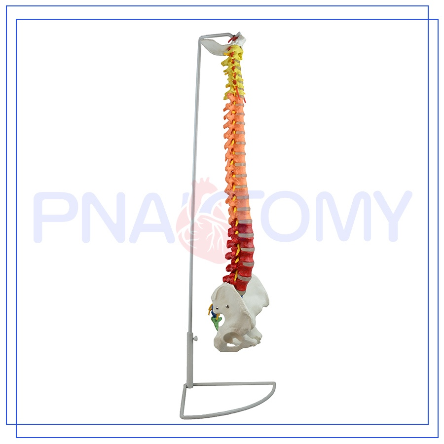 PNT-0120C 85cm colored spinal model