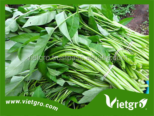 High Yield F1 Kang Kong / Water Spinach Seeds For Planting VGKK021