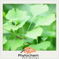 Ginkgo Biloba Extract 24% Total Flavone Glycosides 6% Total Lactones Ginkgolic Acid