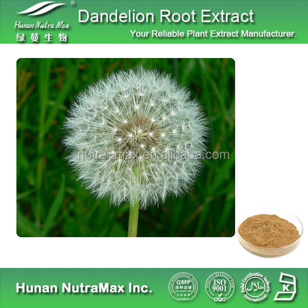 High Quality Dandelion Root Extract,Dandelion Root Extract Powder,Dandelion Root P.E. 5:1 10:1 20:1