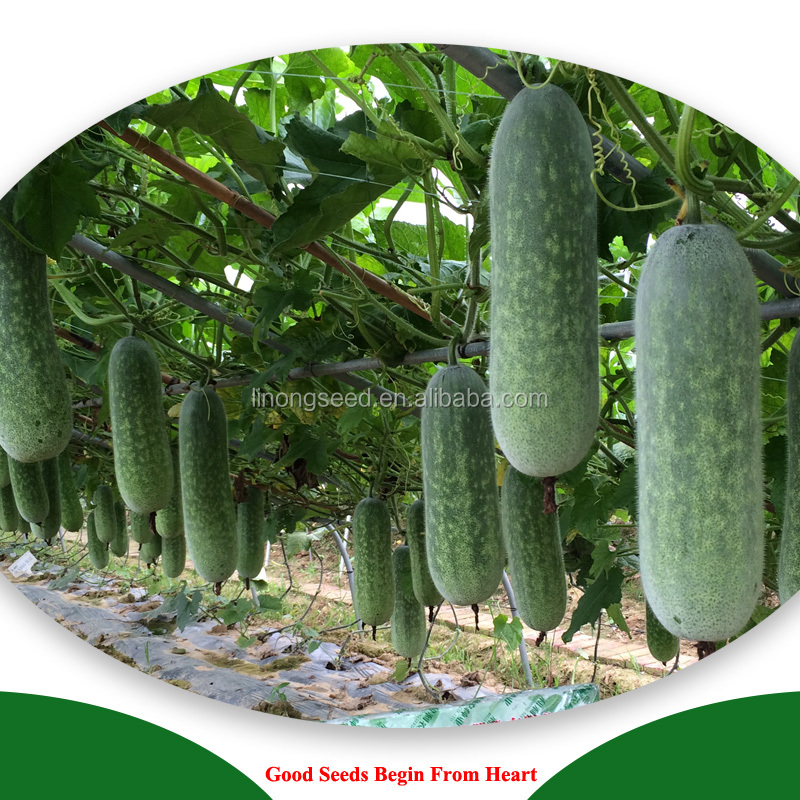 New bred excellent quality and high yield HYN F1 hybrid zucchini seeds