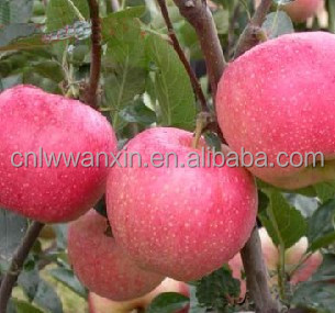 yantai fuji apple best price top quality