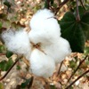 High automatic adjustment ability,The big increase production ability cotton seeds for sale