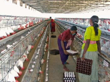 WHOLESALE SUPPLIER EXPORTERS OF FRAM FRESH POULTRY INDIAN WHITE & BROWN SHELL CHICKEN TABLE HEN EGGS HEN POULTRY FARMING INDIA