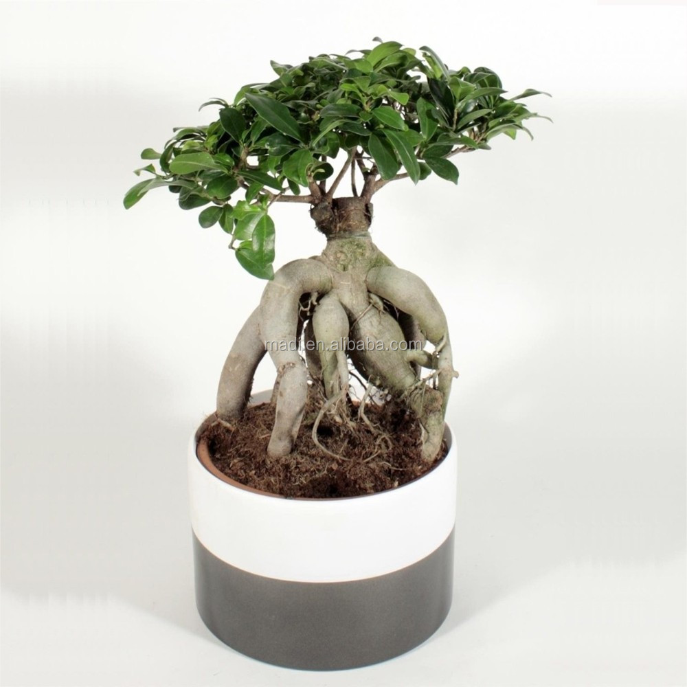 Chinese living plants mini ficus for export