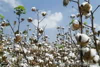 Raw Cotton Prices