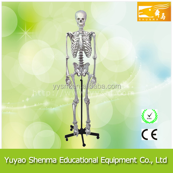 Professional school supplier 170cm human disarticulated skeleton model