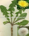 Free Sample Chinese Golden Dandlion Herbal Tea for Anti-virus and Anti-influenza