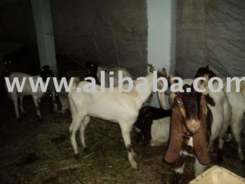 Kamori goats for Qurbani season