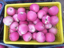 Chinese fruit names / Chinese Qinguan apple /export fresh red delicious apple fruit fresh apple