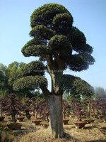 landscaping and outdoor bonsai usage Chinese ulmus pulila