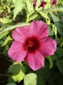 Hibiscus sabdariffa var. rubra (Red Sorrel, Roselle, Florida Cranberry, Indian Sorrel, Jamaican Sorrel)