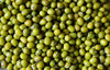 Exported to EU green mung bean