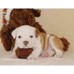 good looking female and male English bulldog puppies for a good and caring family