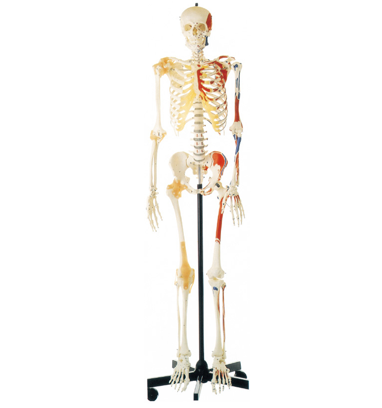 GD/A11102 Human Skeleton Model With One -Side Painted Muscles