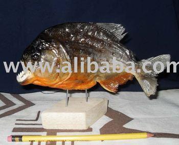 how to buy a piranha
