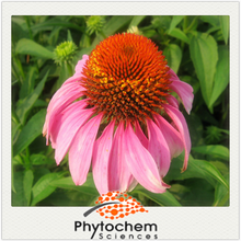 Healthcare strengthen the immunity product Echinacea Angustifolia Extract 4% Echinacoside in powder