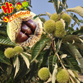 Organic Fresh Chestnut wholesale Chestnuts Price