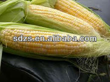 maize corn seed both for people consumption and animal feed