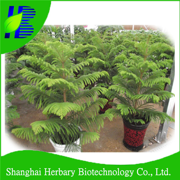 2017 Bonsai tree seeds for sale bonsai araucaria seeds
