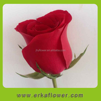 High Quality Fresh Cut Flowers/red roses In China
