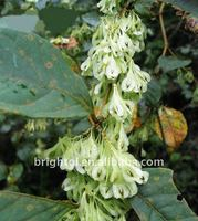 Pure Nature Polygonum Cuspidate Extract