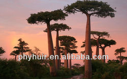 Baobab Powder/Adansonia digitata Extract 10:1 5:1 20:1