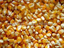 Hybrid yellow corn seed
