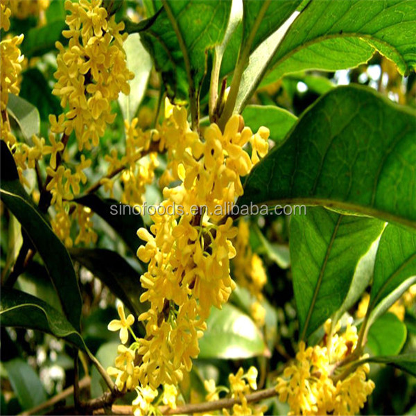 Gui Hua Bulk Cheap Osmanthus Perennial Flower Seeds
