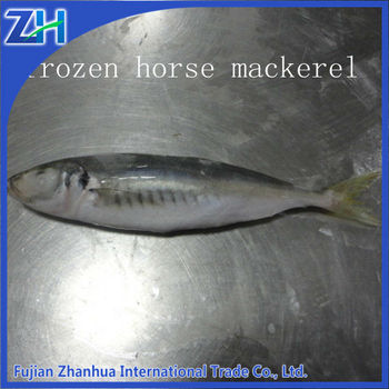 Frozen horse mackerel with size 6-8